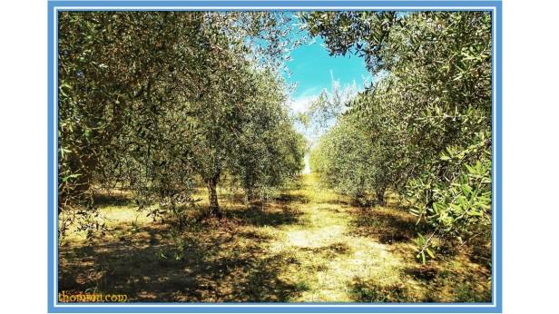 olive 5
